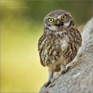 Little_Owls_Photos_by_Tat'yana_Zherebtsova_8