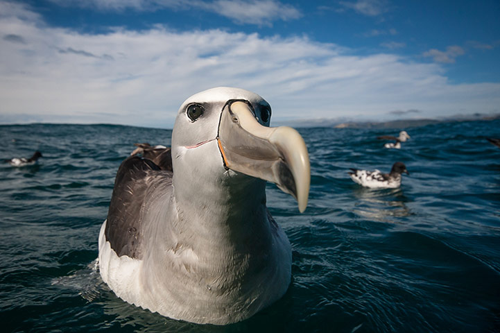 A Salvin's albatross gets up close and personal with a camera in the sea off Kaikoura, New Zealand. Photograph: Craig Nash. A Salvin/BirdLife South Africa Oceans of Life photo competition 2013