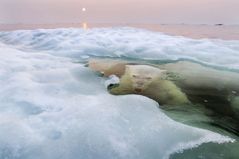 polar bear lurking National Geographic