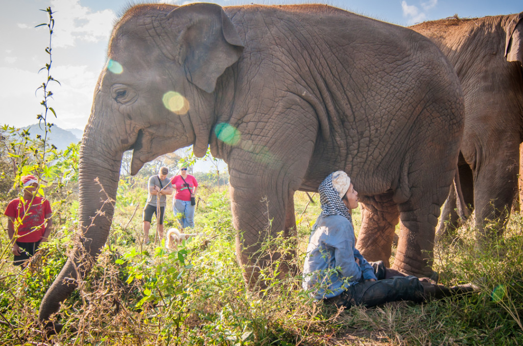 Chiang Mai plight of elephants