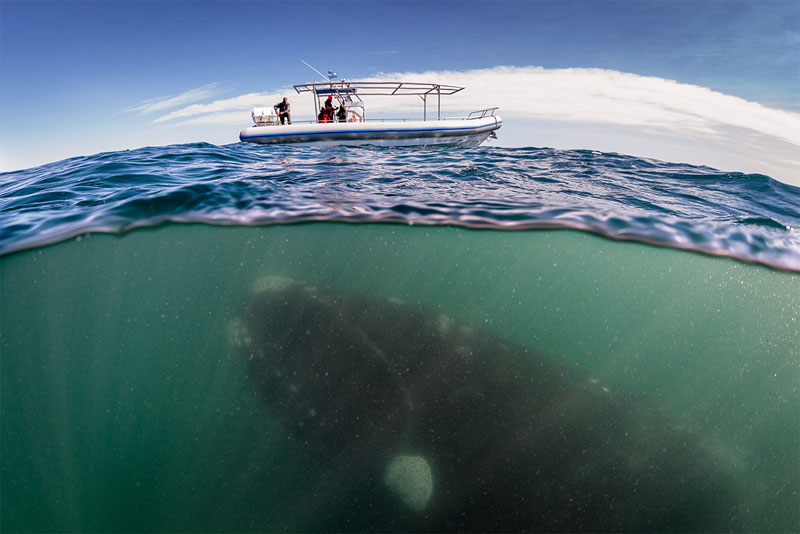 Whale Lurking Underneath boat Justin Hofman