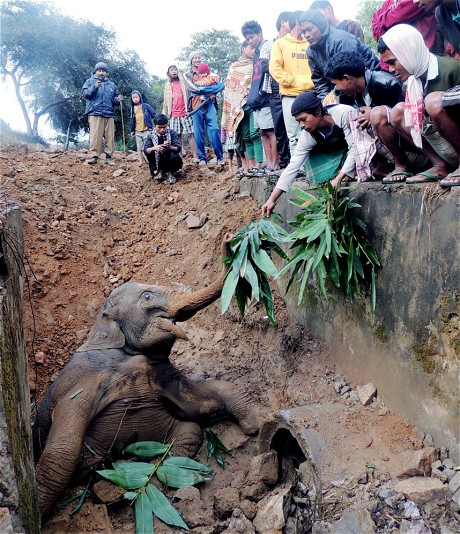 Assam baby elephant pulled from hole
