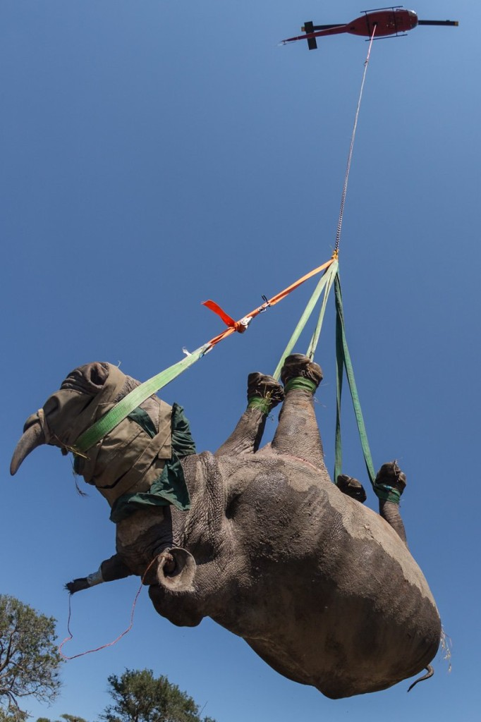 rhino relocation conservationist