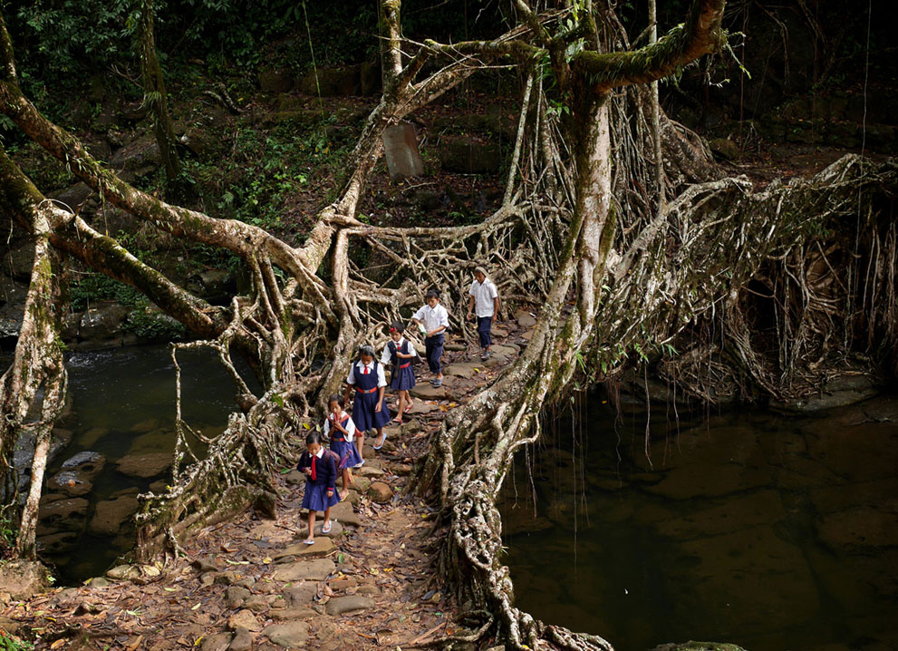 In a scene played out every weekday morning, students of the RCLP School in Nongsohphan Village, Meghalaya, India, cross a bridge grown from the roots of a rubber tree. © Amos Chapple